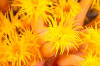Hawaii, Yellow Soft Coral, Cup Coral, Close-Up Det