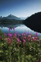 Auke Lake On A Clear Day With Fireweed In The Fore
