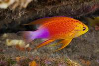 Hawaii, A Male Hawaiian Longfin Anthias