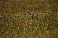 Mule Deer In Wheat Field, Saskatchewan