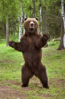 Brown Bear Standing On Hind Legs Southcentral Alas