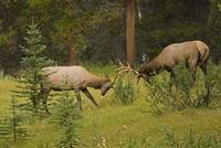 Bull Elk Fighting, Banff National Park, Banff, Alb