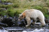 A Spirit Bear a genetically white colored black be