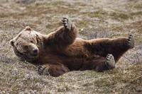 Brown Bear Lays On Its Back On The Tundra In Denal