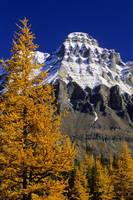 Alpine Larch Trees, Mount Huber, British Columbia,