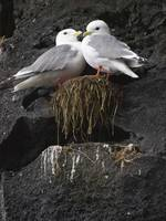 Close up view of Red legged Kittiwakes in their ne