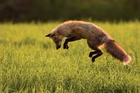 Red Fox Hunting, Prince Edward Island, Canada