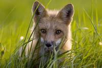 Red Fox, Prince Edward Island, Canada