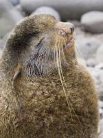 Portrait of a territorial Northern Fur Seal bull S