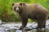 An Adult Brown Bear Fishing In The Russian River,