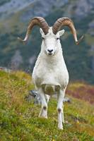 A Large Dall Sheep Ram Standing On Fall Tundra, De