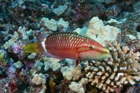 Hawaii, Ringtail Wrasse