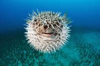 Hawaii, The Spotted Porcupinefish