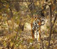 Tiger In The Undergrowth At Ranthambore Park, Raja