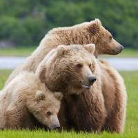 """""""Coastal Brown Bear With Her Two Cubs At Hallo Bay,"""" by DesignPics"""