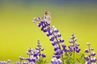 A Savannah Sparrow Singing On A Lupine Blossom In
