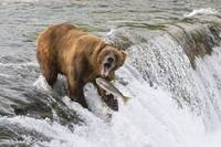 Adult Brown Bear fishing for salmon at top of  Bro