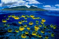 Hawaii, Maui, Over/Under, Raccoon Butterflyfish