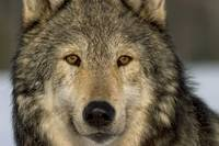 Portrait of Grey Wolf Captive Alaska SE Winter
