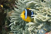 Fiji, Close-Up Of Orange-Fin Anemonefish