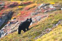 A Black Bear foraging near the Harding Icefield Tr