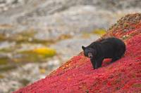 Black bear foraging for berries on a bright red pa