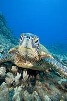 Hawaii, Close-Up Of Green Sea Turtle