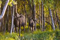 Cow and calf moose in Birch forest along the Tony
