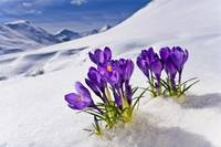 Crocus flower peeking up through the snow. Spring.