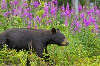 A Black Bear searches for soap berries along the T