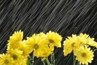 Raining On Yellow Daisies