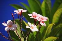 Pink Plumeria Blossoms Growing From Tree, Blue Sky