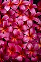 Bed Of Dark Pink Plumeria Blossoms, Overlapping