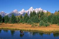 Grand Tetons, Snake River, Cow Moose Feeding, Wyom