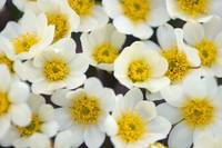 Close up of Mountain Avens flowers growing in the
