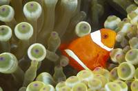 Side View Of A Spinecheek Clownfish, White Striped