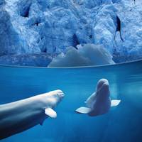 Belugas Underwater With View Of A Glacier