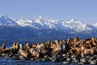Steller Sea Lions Haul Out On A Small Island In Ly