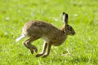 Hare Hopping In The Grass