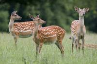 Spotted Deer, Harrogate, Yorkshire, England