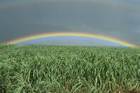 Hawaii, Brilliant Rainbow Over Fields Of Sugarcane