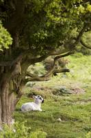 Sheep Lying Under Tree