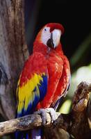 Closeup Of Colourful Red Parrot Standing On Tree L