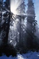 Sunbeams Through Pine Trees