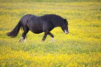 A Horse Walking In A Field Of Yellow Flowers Nort