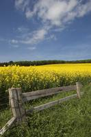A Wooden Fence Along A Field Of Canola Northumber