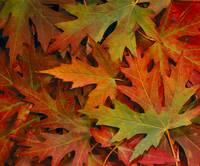 Maple Leaves In Autumn Colors