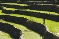 A Farmer Walks Along The Rice Terraces Batad, Nor