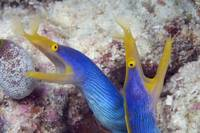 Indonesia, Blue Ribbon Eel Pair