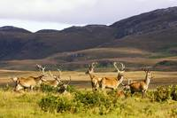 Island Of Islay, Scotland, Male Deer Roaming The H